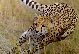 Cheetah research