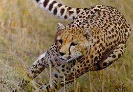 Cheetah research